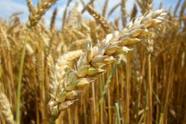 25 najlepiej plonujących odmian pszenicy ozimej w sezonie 2013/2014
