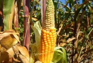Słabo zaziarnione kolby kukurydzy