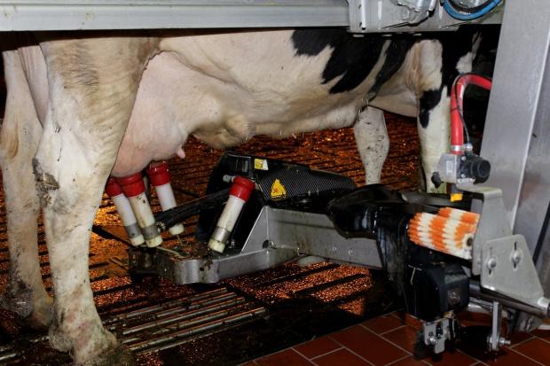 Jak często doić krowy?