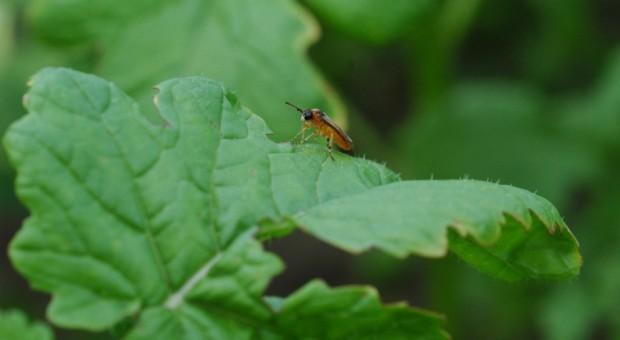 Syngenta prowadzi jesienny monitoring agrofagów