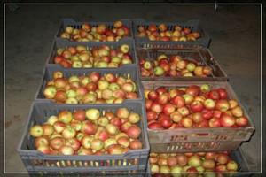 Rosyjskie embargo na jabłka pośrednio uderzyło w branżę przetwórczą