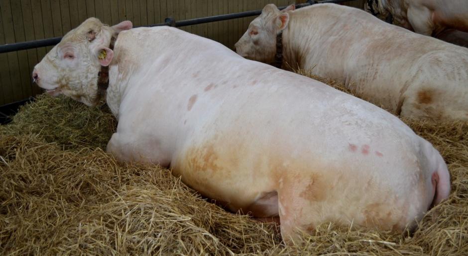 Spadkowa tendencja cen żywca wołowego