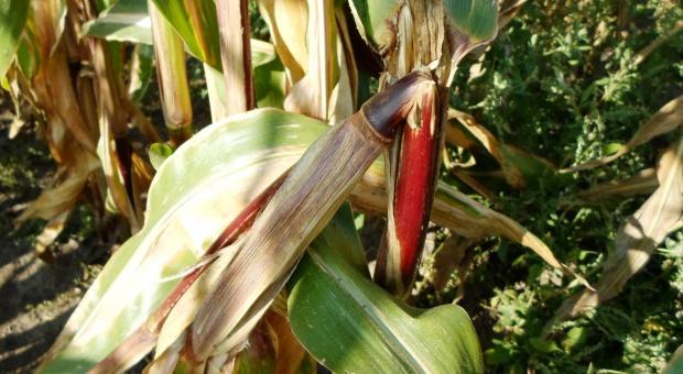 Złomy kukurydzy - efekt żerowania omacnicy prosowianki