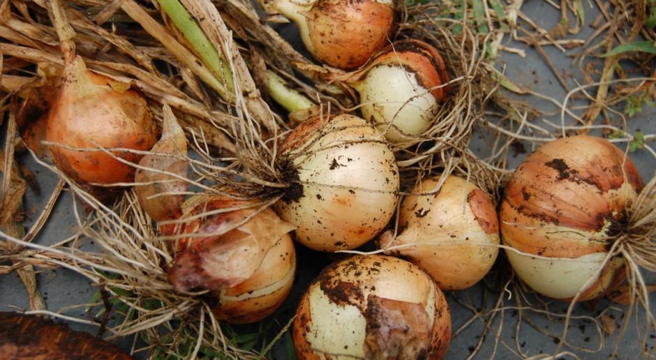 Ważna pozbiorcza selekcja cebuli