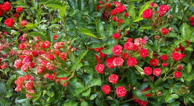 Łatwe rozmnażanie róż
