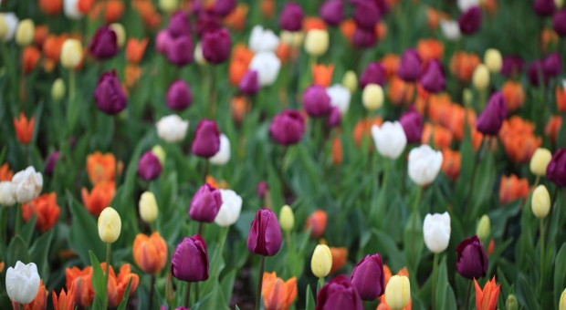Tulipany cz.1 – wczesne odmiany