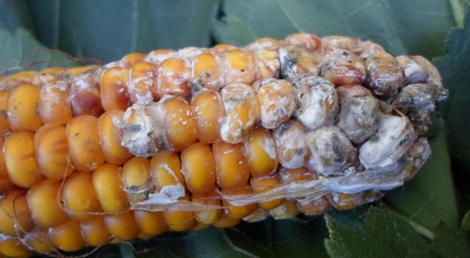 Mikotoskyny mogą stać się problemem w ziarnie kukurydzy
