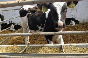 Od cielęcia po mlecznicę - utrzymanie i żywienie najmłodszych grup w stadzie