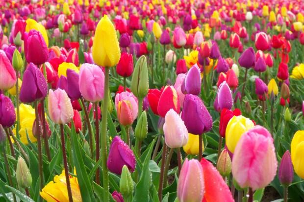 Tulipany cz.2 - późne odmiany