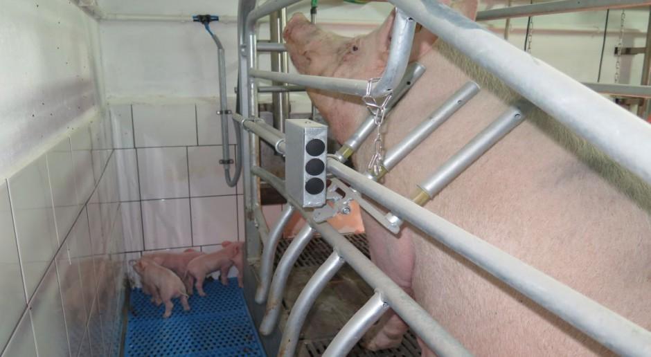 """Kojce porodowe z """"windą"""" dla loch"""