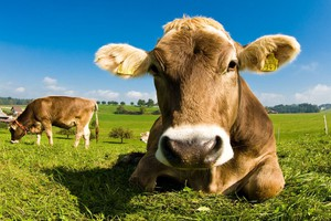 Będzie obiektywna ocena bydła i określenie warunków umów w obrocie rolnym