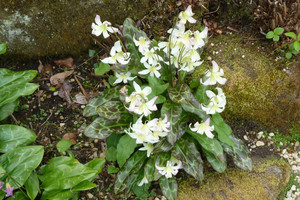Psiząb, trójlist i arisema – ogrodowe rarytasy