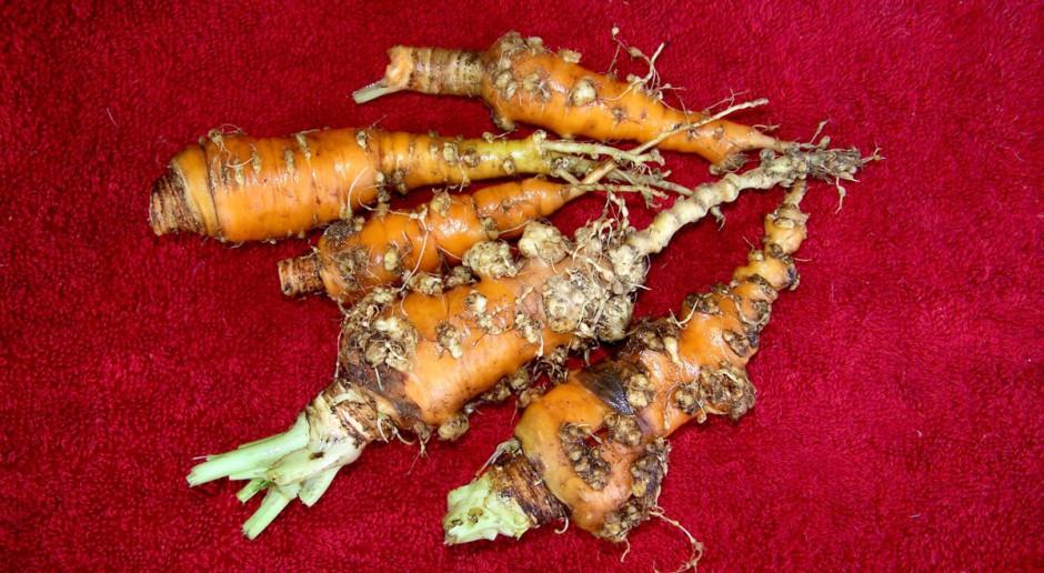 Nicienie na warzywach