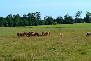 Dokarmiaj krowy jesienią