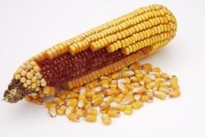 Zbyt wilgotne ziarno kukurydzy