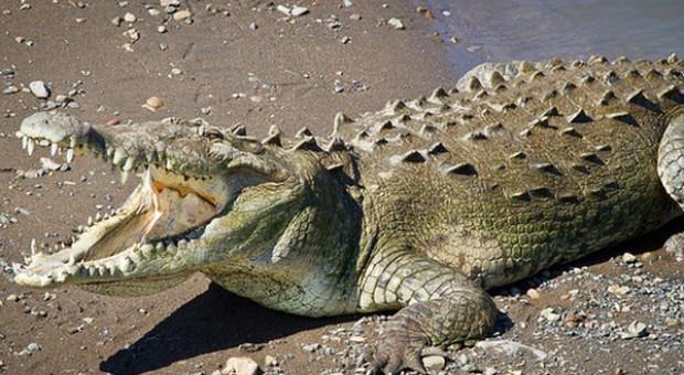 Rosja: mięso z krokodyli i hipopotamów, zamiast zachodniej wołowiny i wieprzowiny?