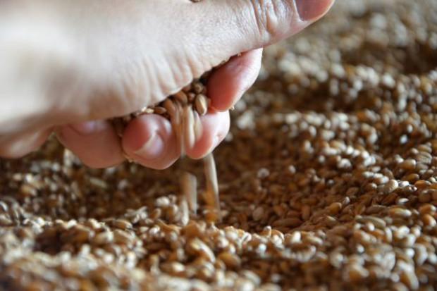 Rynek zbóż pod presją podaży – niższe ceny