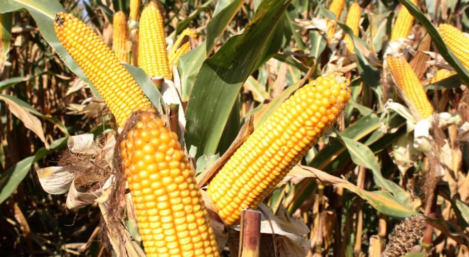 Pojawiły się pierwsze katalogi kukurydziane