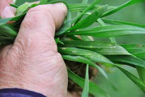 Ochrona zbóż przed chorobami jesienią