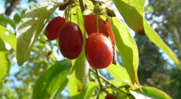 Dereń jadalny – perspektywa uprawy towarowej