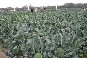 Najpopularniejsze odmiany brokuła od firmy Sakata
