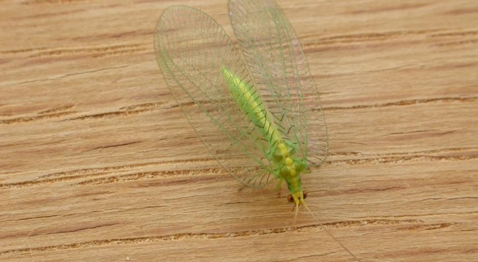 Złotook - pożyteczny owad w naszym mieszkaniu