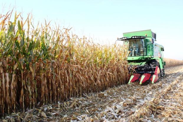 Zbiory kukurydzy w różnym stadium zaawansowania