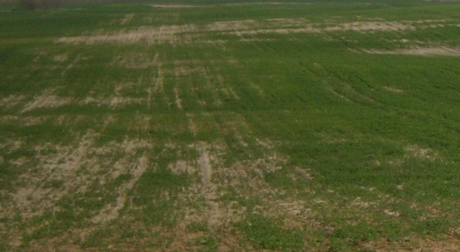 Niewyrównane wschody zbóż
