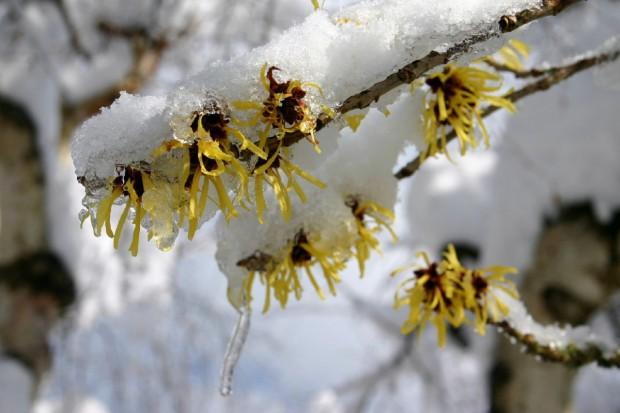 Krzewy kwitnące zimą