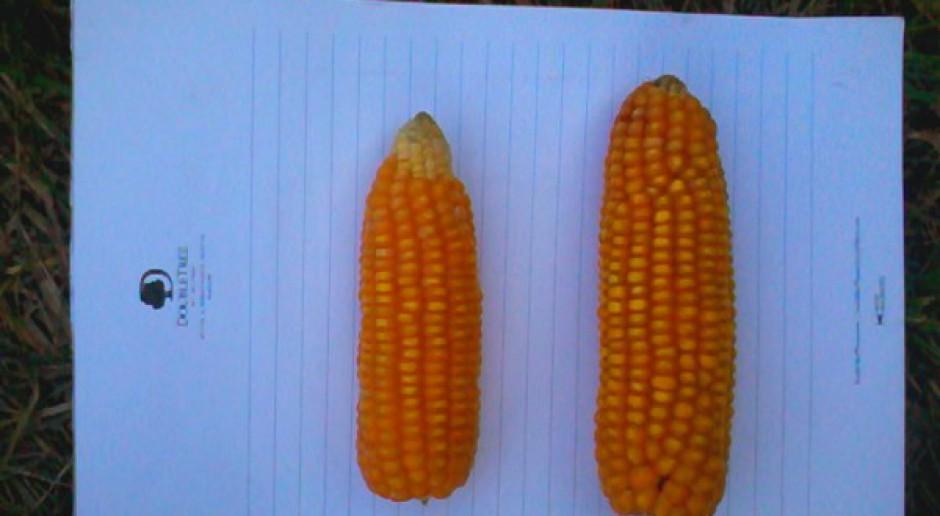 Wymagania w kukurydzy ziarnowej coraz większe!
