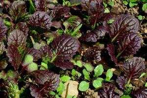Musztardowiec - kolejny hit wśród warzyw liściowych?