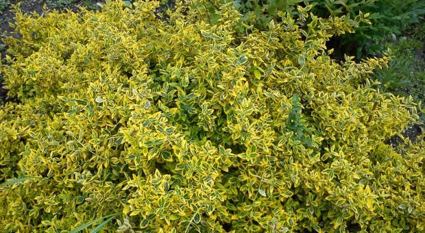 Trzmielina barwny akcent w ogrodzie