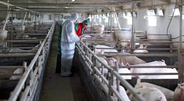 Danish Crown próbuje wprowadzić produkcję świń bez antybiotyków