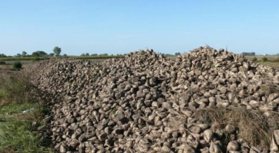 Sucho – łamią się korzenie buraków przy zbiorze
