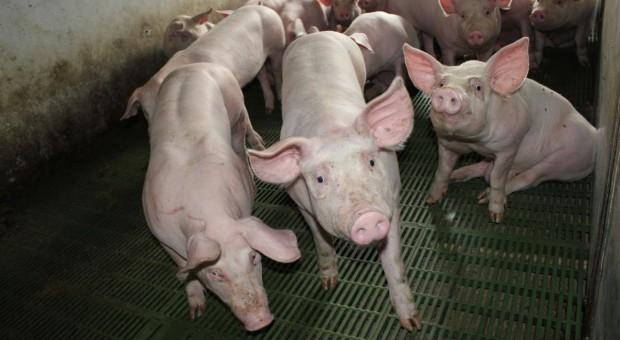 Nie chcą obniżenia dopuszczalnego poziomu cynku w paszach dla świń