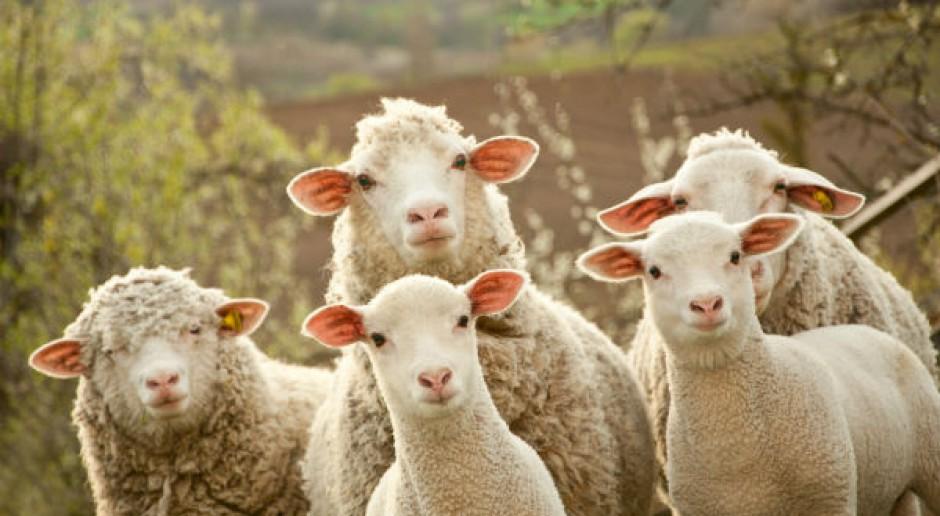 Stado owiec przeszło przez Madryt