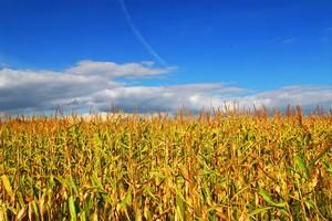 Będzie mniej ziarna kukurydzy