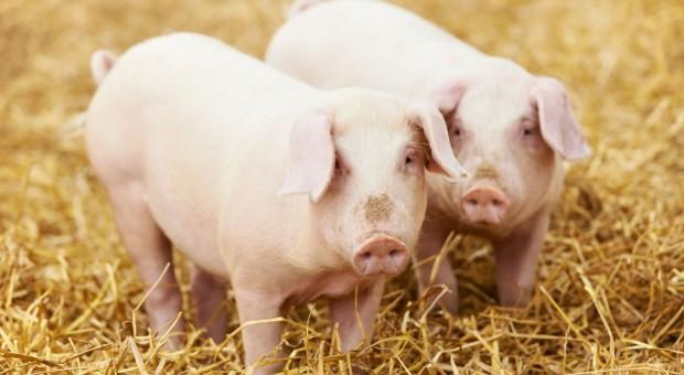 Na prośbę rolników wojewoda wnioskuje o ogłoszenie stanu klęski po ASF