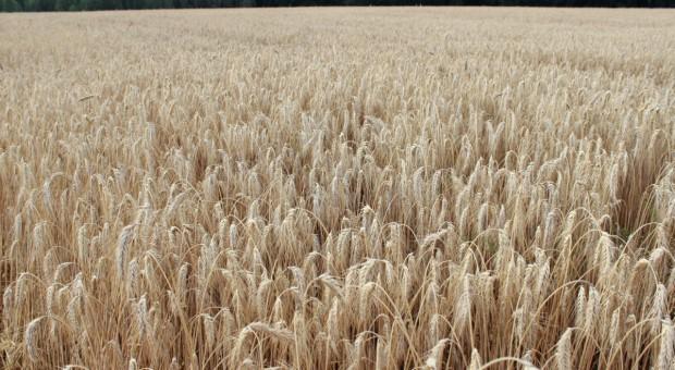 Ceny zbóż na światowych giełdach wciąż rosną