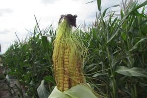 Izba Zbożowo-Paszowa: Kukurydza prawie zebrana, mało zboża na rynku