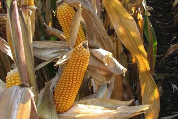 15 proc. kukurydzy ziarnowej na polu