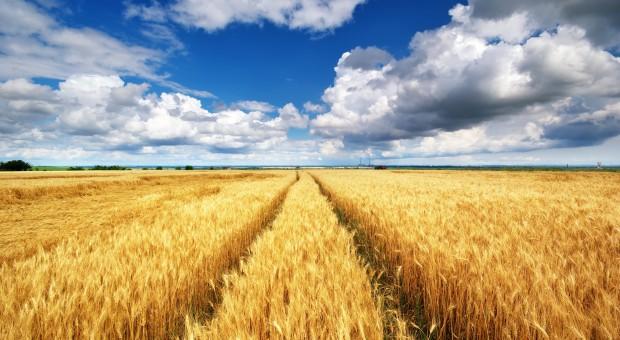 Rosną giełdowe ceny pszenicy, duża podaż kukurydzy