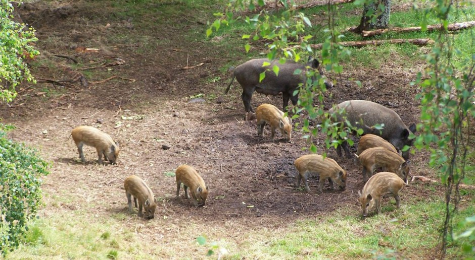 Apel o wnioski ws. rekompensat za pola zniszczone przez dziki
