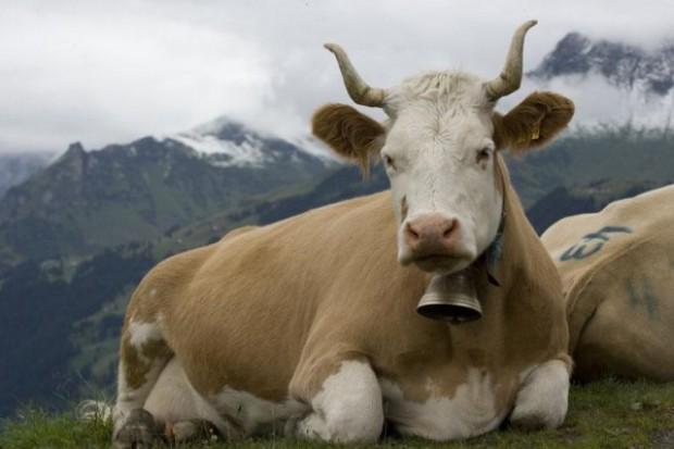 Szwajcarzy bronią dzwonków noszonych przez alpejskie krowy