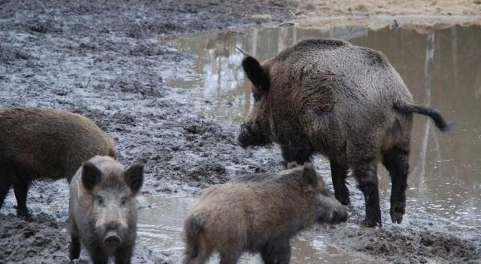 Ochrona bobrów i odstrzał dzików, a szkody ponoszone przez rolników