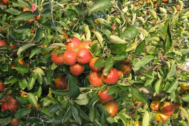 MSZ: polskie jabłka już w Kanadzie