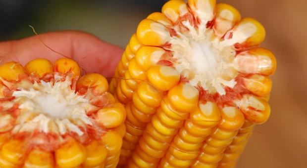 Uzgodniono przepisy ułatwiające krajom Unii zakazywanie upraw GMO