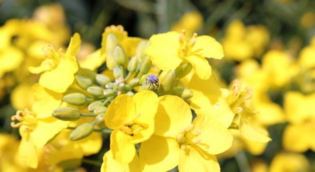 Przegląd zarejestrowanych substancji czynnych insektycydów do ochrony rzepaku