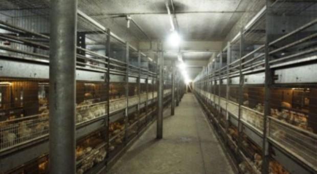Efekty zaniedbania dobrostanu w chowie drobiu