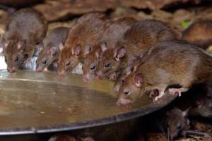 Zapobiec pojawieniu się gryzoni na fermach zwierzęcych